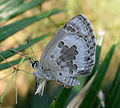 Plains Cupid. DSF. Chilades pandava..jpg