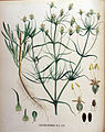 Plantago arenaria — Flora Batava — Volume v16.jpg