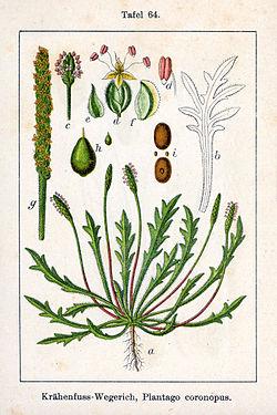 Plantago coronopus Sturm64.jpg