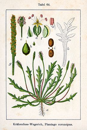 Description de l'image  Plantago coronopus Sturm64.jpg.