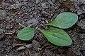 Plantago media kz02.jpg