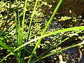 Plantes aquatiques 1.JPG