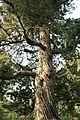 Platycladus orientalis Forbiddencity.jpg