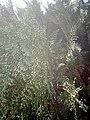 Platycladus orientalis at Nagarjun Garden, Akola6.jpg