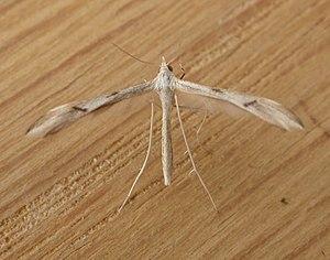 Pterophoridae - Platyptilia celidotus (Pterophorinae: Platyptilini)