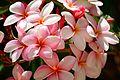 Plumeria @ Honolulu Zoo (9165210828).jpg