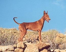 Podenco Canario Wikipedia