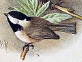 Poecile hypermelaenus 1891.jpg