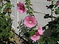 Poland. Flowers 004.jpg