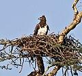 Polemaetus bellicosus Martial Eagle.JPG