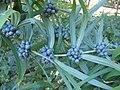 Polygonatum cirrhifolium 0zz.jpg