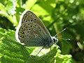 Polyommatus icarus (Lycaeinidae) - (imago), Elst (Gld), the Netherlands.jpg