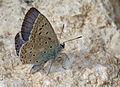 Polyommatus syriaca.jpg