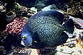 Pomacanthus paru, London Aquarium (539668868).jpg