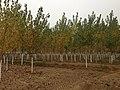 Poplar Trees - panoramio (10).jpg