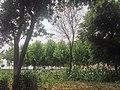 Poplar plantation - panoramio (3).jpg