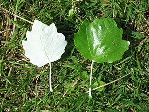 Populus alba - White Poplar leaves; underside left, upper side right