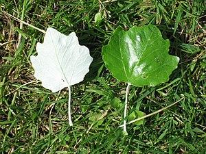 White Poplar leaves; underside left, upper sid...