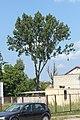 Populus nigra Marki.JPG
