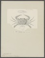 Portunus gladiator - - Print - Iconographia Zoologica - Special Collections University of Amsterdam - UBAINV0274 094 19 0003.tif