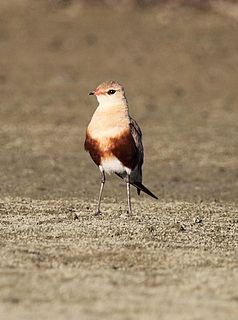 Australian pratincole species of bird