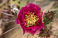 Prickly Pear Bloom (14368031484).jpg