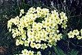 Primula vulgaris 1b.JPG