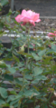 Princesse Aiko (rose).PNG
