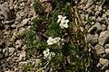 Pritzelago alpina - Velika Zelenica (3).jpg