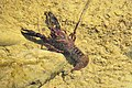 Procambarus clarkii - Louisiana Crayfish (38991442615).jpg