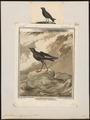 Procellaria pelagica - 1700-1880 - Print - Iconographia Zoologica - Special Collections University of Amsterdam - UBA01 IZ17900044.tif