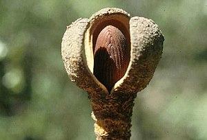 Hydnoroideae - Prosopanche americana