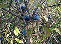 Prunus-spinosa-fruits.JPG