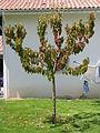 Prunus cerasus sick 01.jpg