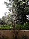 Prunus dulcis tree in Greece.jpg