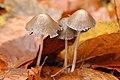 Psathyrella.conopilus.-.lindsey.jpg