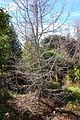 Pseudolarix amabilis - Quarryhill Botanical Garden - DSC03417.JPG