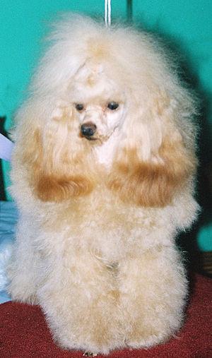 Image Result For Toy Poodle Dog