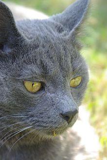Hypoallergenic Black Cats