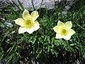 Pulsatilla alpina subsp. apiifolia 05.jpg