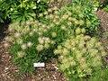 Pulsatilla vulgaris, Tower Hill Botanic Garden.JPG
