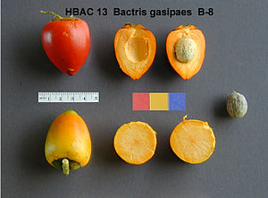 Aguaruna people - B. gasipaes fruits