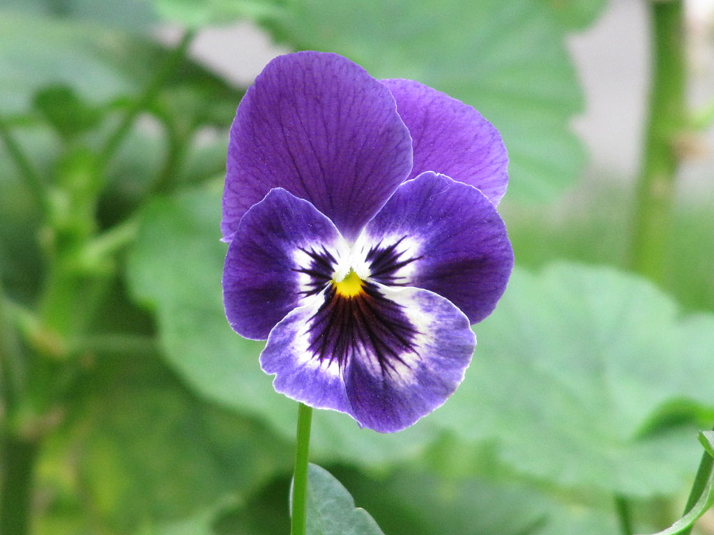 "filepurple flower ""pensamiento"" viola × wittrockiana, Beautiful flower"