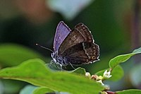 Purple hairstreak (Favonius quercus) male.jpg