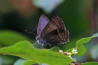 Purple hairstreak species of insect