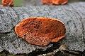 Pycnoporus cinnabarinus (35240265676).jpg