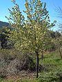 Pyrus bourgaeana arbol.jpg