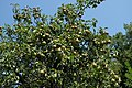 Pyrus communis from Crimea.jpg