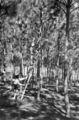 Queensland State Archives 2850 Students study trees Slacks Creek State School Experimental Pine Plot 1946.png