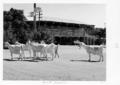 Queensland State Archives 4396 Main street Hughenden 1952.png